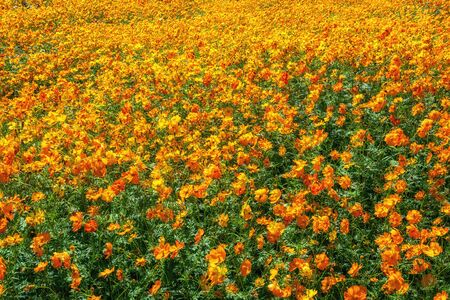 field of orange cosmos in the garden of water ecological park in namyangju south korea.