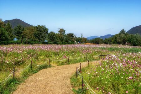pink cosmos flowers in Garden of Water Namyangju South Korea Reklamní fotografie
