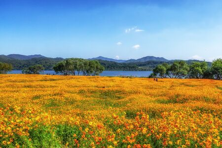 field of orange cosmos flowers with the view of the Bukhangang river in Garden of Water park Namyangju, South Korea