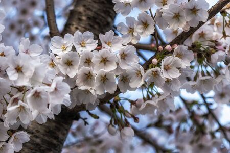 cherry blossoms blossoming in spring in seoul, south korea Foto de archivo