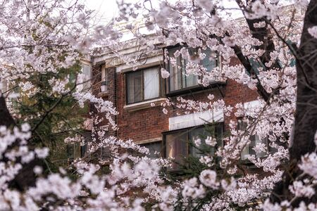 a small apartment in seoul, south korea surrounded in cherry blossom. Foto de archivo