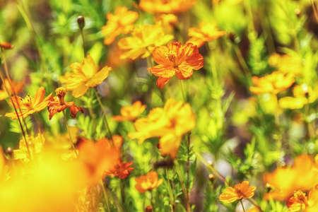 Yellow cosmos flowers blooming in Odaesan mountain in Pyeongchang, South Korea