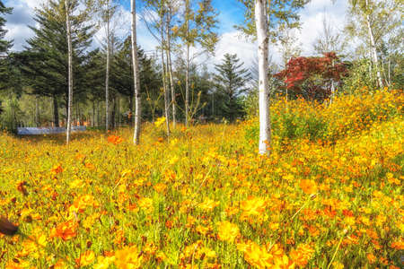 Yellow cosmos flowers blooming in Odaesan mountain in Pyeongchang, South Korea. Korean letters in the background says welcome to Odaesan national park Stock Photo
