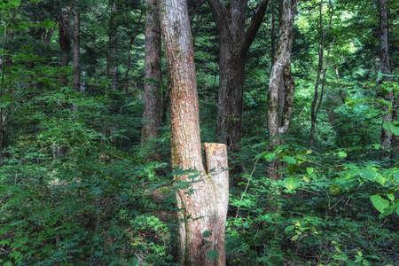 Fir tree forest view nearby Woljeongsa temple. Taken in Pyeongchang, South Korea