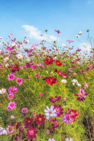 Cosmos flowers blooming in Yangju Nari Park in South Korea