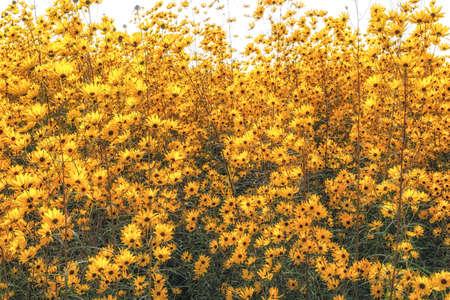 Golden pyramid sunflower also called willow leaved sunflower taken in Yangju Nari Park, South Korea Stock Photo