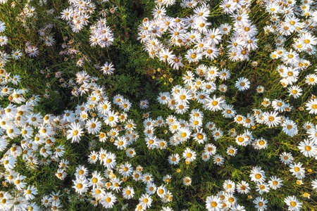 field of white chrysanthemum flowers in Yangju Nari Park in South Korea. Also called gujulcho in korean Stock Photo