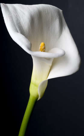 Cala lily on black background. Respect for Robert Mapplethorpe.