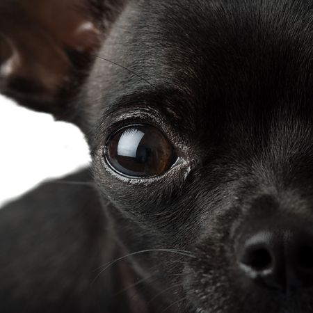 black chihuahua closeup photo
