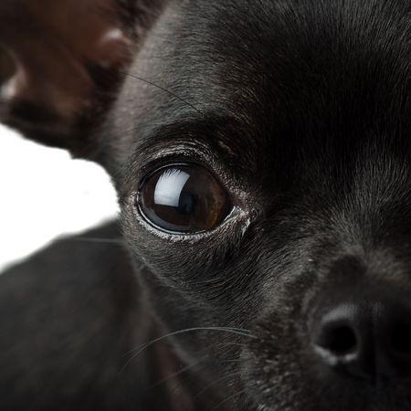 chihuahua puppy: black chihuahua closeup