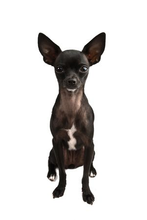 black chihuahua isolated photo