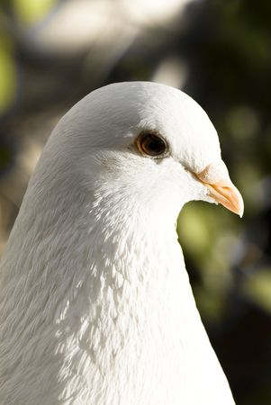 pigeon closeup Stock Photo - 5228529