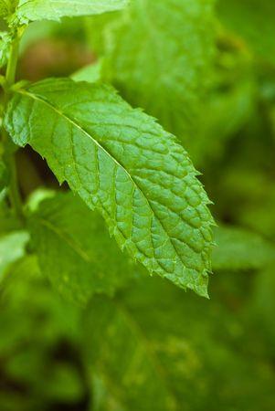 min: min leaf closeup