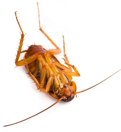 dead insect: cockroach