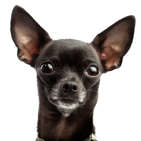 black chihuahua photo