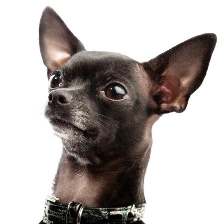 brown and black dog face: black chihuahua
