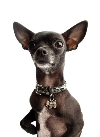 black chihuahua Stock Photo - 7981998