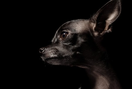 black chihuahua photo