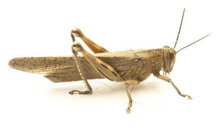 little grasshopper isolated on a white background photo