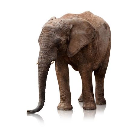elefante: elefante en una superficie reflectante sobre fondo blanco