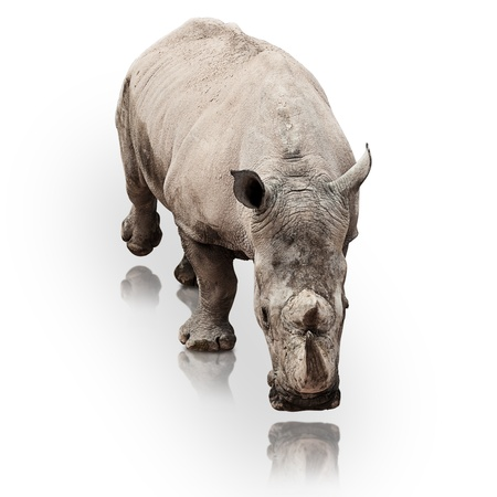 wild rhinoceros walking on a reflective surface photo