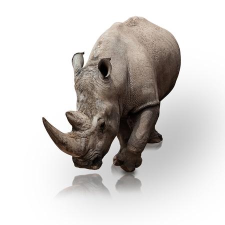 rhino: wild rhinoceros walking on a reflective surface Stock Photo