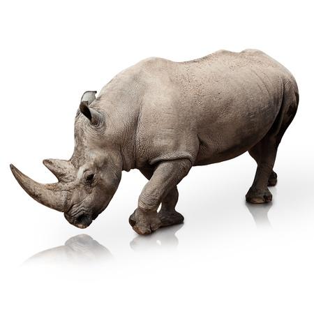 bocinas: rinocerontes salvajes caminando sobre una superficie reflectante