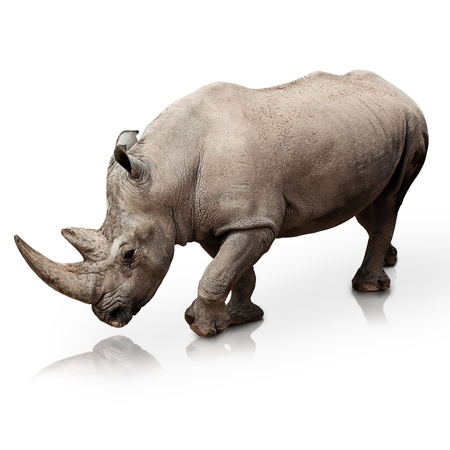 wild rhinoceros walking on a reflective surface Stock Photo - 10374020