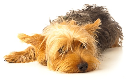 yorkshire: yorkshire puppy bored on a white background