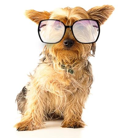 gewaarschuwd yorkshire met zwarte bril op een witte achtergrond