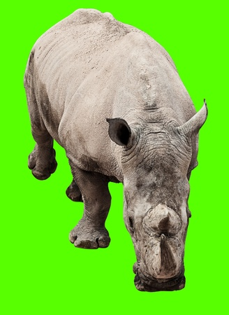 rhinoceros isolated against a removable chroma key background photo