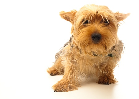 yorkshire puppy on a white background photo