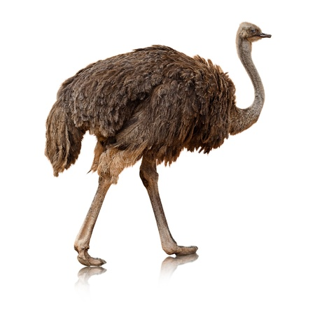 avestruz: avestruz, aislado en un fondo blanco