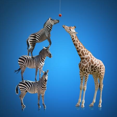jirafa fondo blanco: Cebra y jirafa Aislado sobre fondo azul Foto de archivo