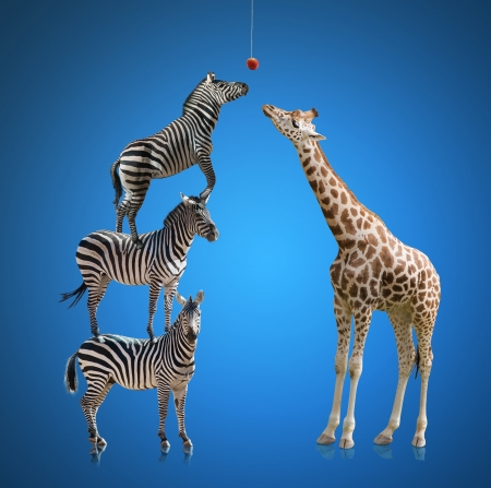Zebra And Giraffe Isolated On Blue Background photo