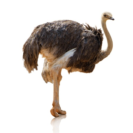 Potrait Of An Ostrich On White Background