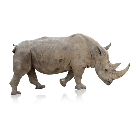 Potrait Of A Rino On White Background