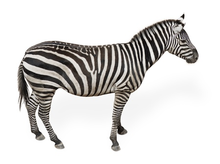 Potrait Of A Zebra  On White Background photo