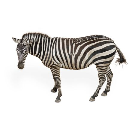 Potrait Of A Zebra  On White Background Stock Photo - 14438933