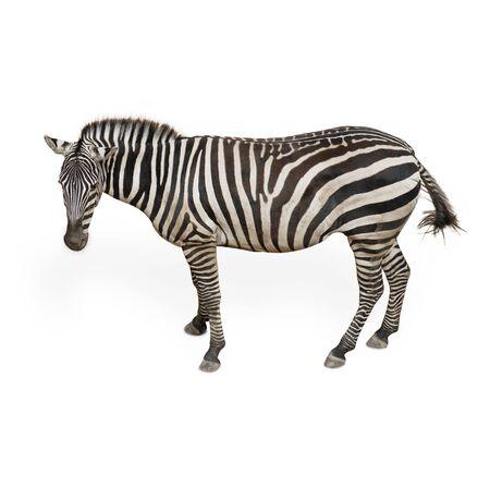 Potrait Of A Zebra  On White Background photo