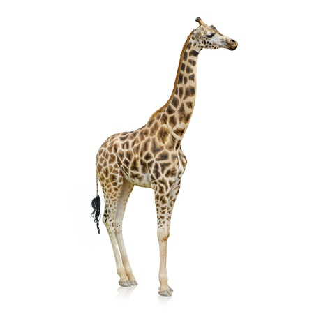 jirafa cute: Potrait de una jirafa en el fondo blanco