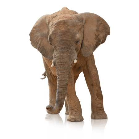 isolated spot: Portrait Of An Elephant Bull On White Background
