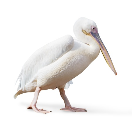 Potrait Of A Pelican On White Background photo