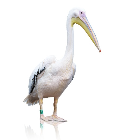 Portrait Of A Pelican On White Background photo
