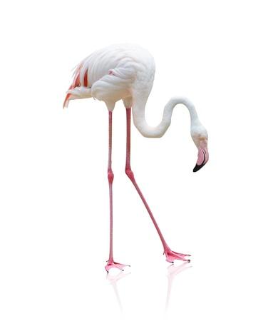 flamenco ave: Retrato de un flamenco en el fondo blanco