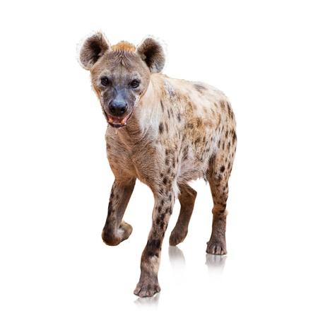 studio zoo: Portrait Of A Hyena On White Background