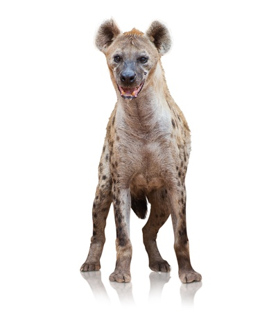 hyena: Portrait Of A Hyena On White Background