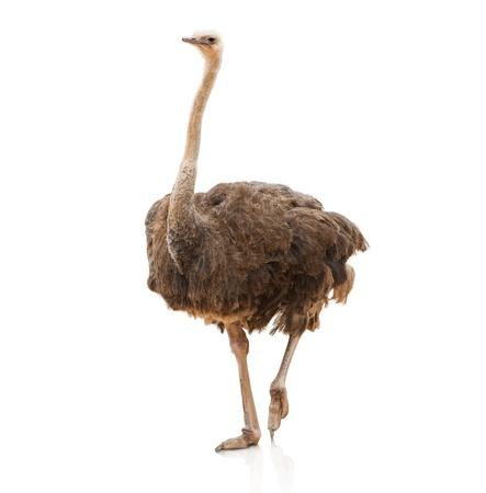 avestruz: Retrato de un avestruz en el fondo blanco