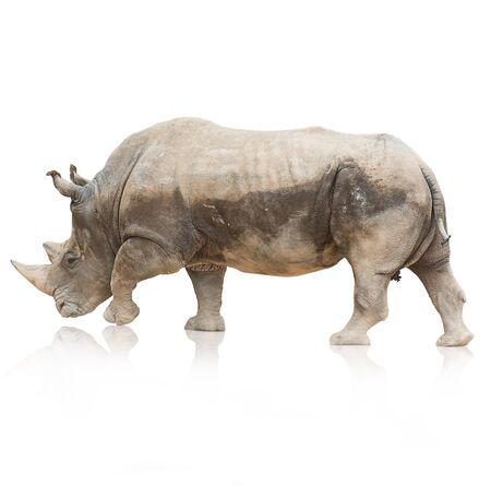 Portrait of a rhinoceros on white background photo