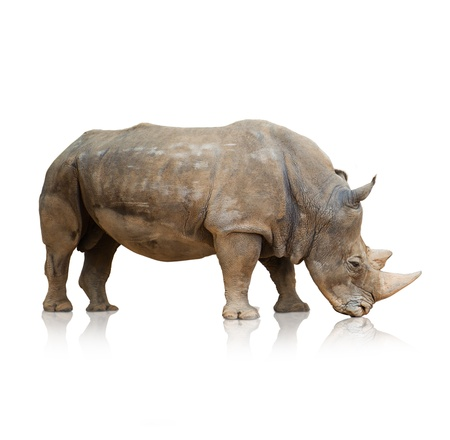 naturalist: Portrait of a rhinoceros on white background